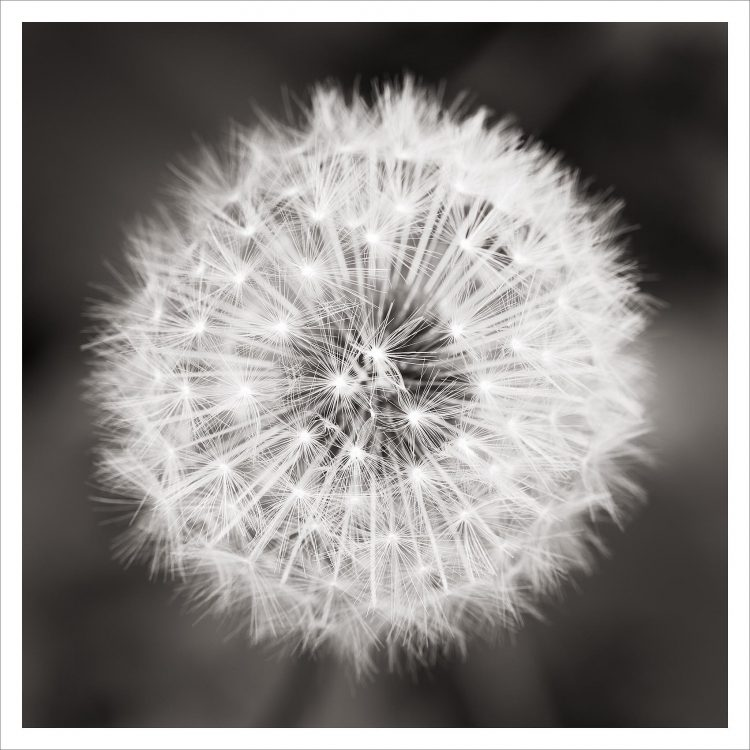 Dandelion seed head Black and White Nature Study