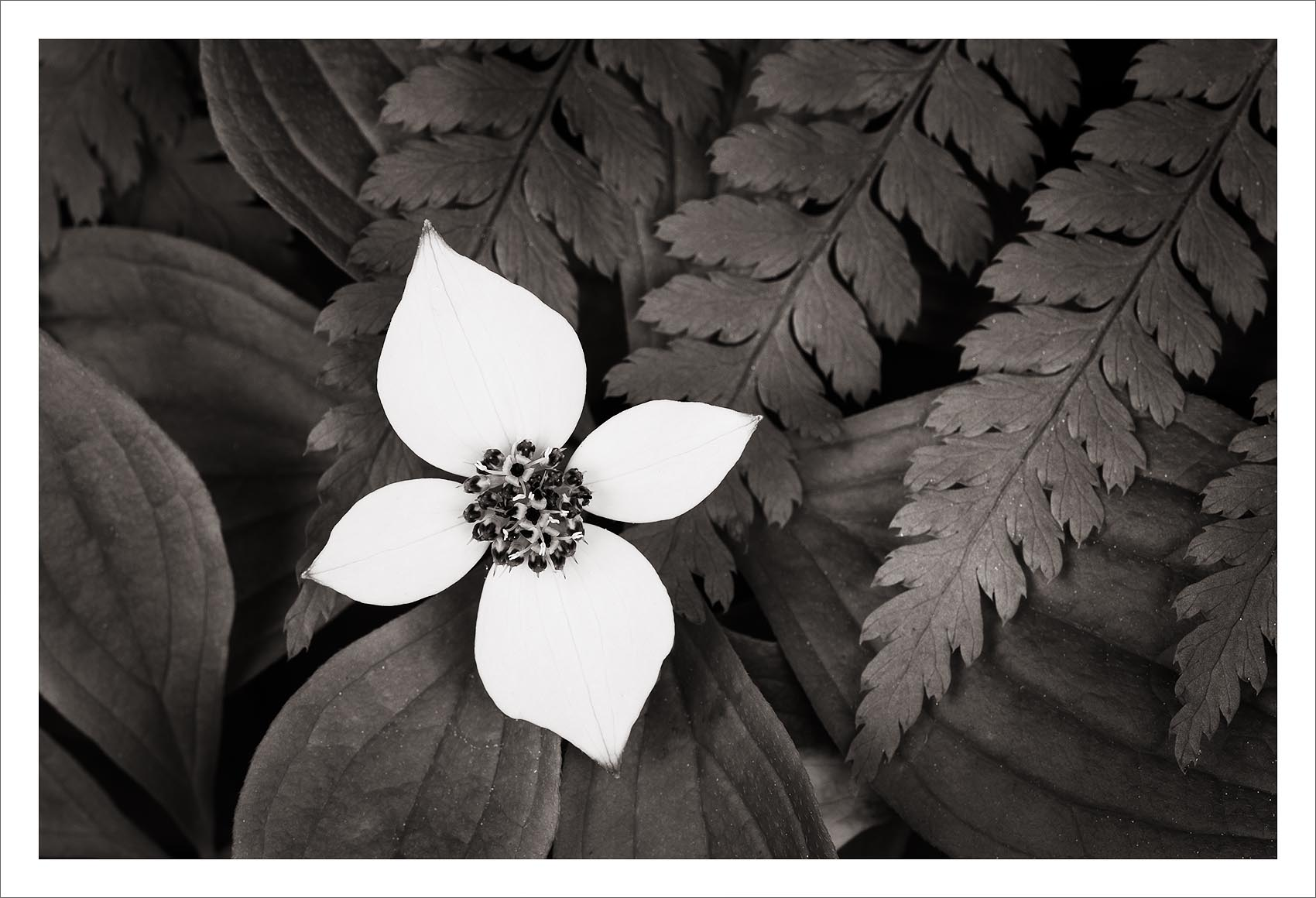 Bunchberry and Oak Fern Black and White Nature Study