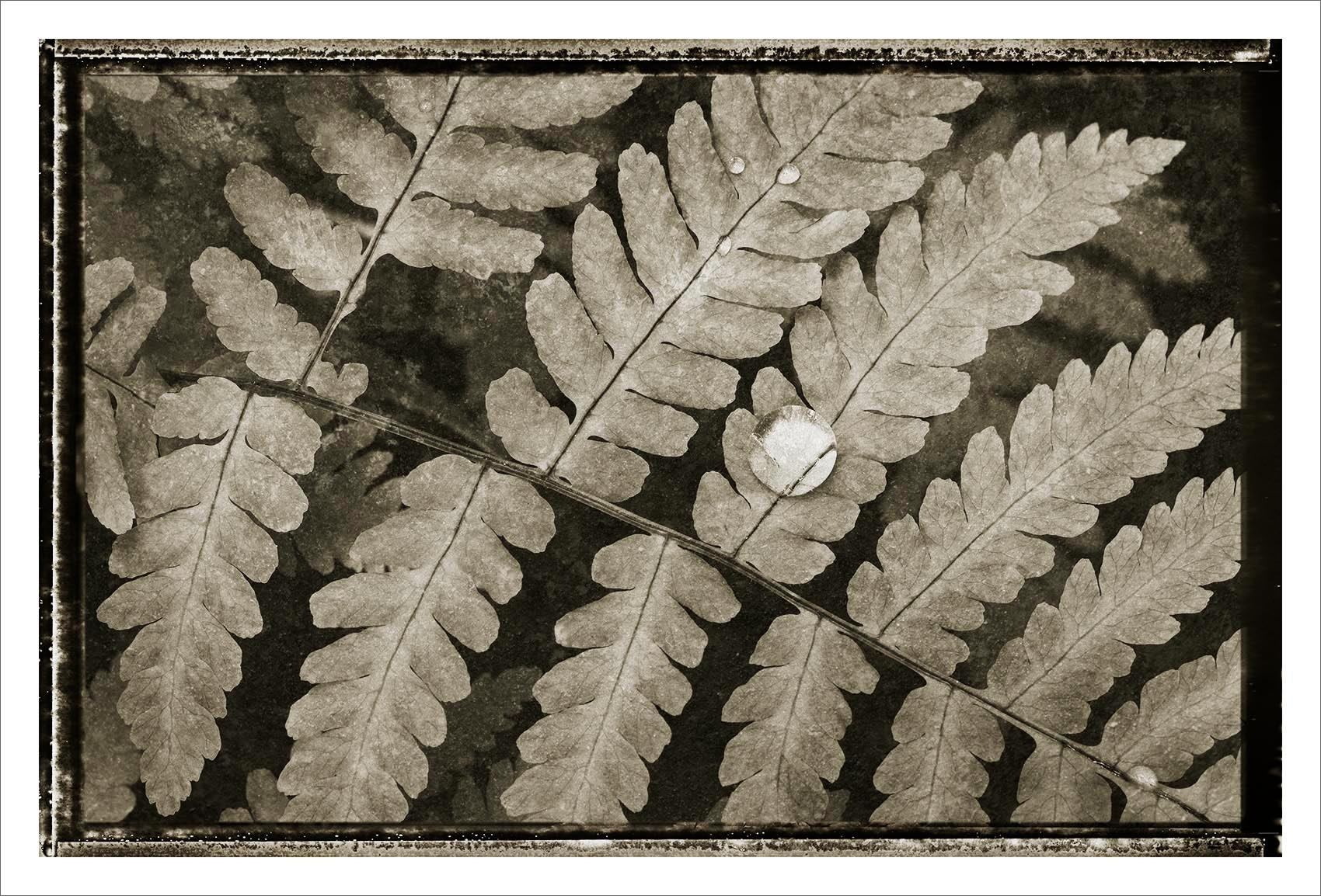 Oak Fern Black and White Nature Study