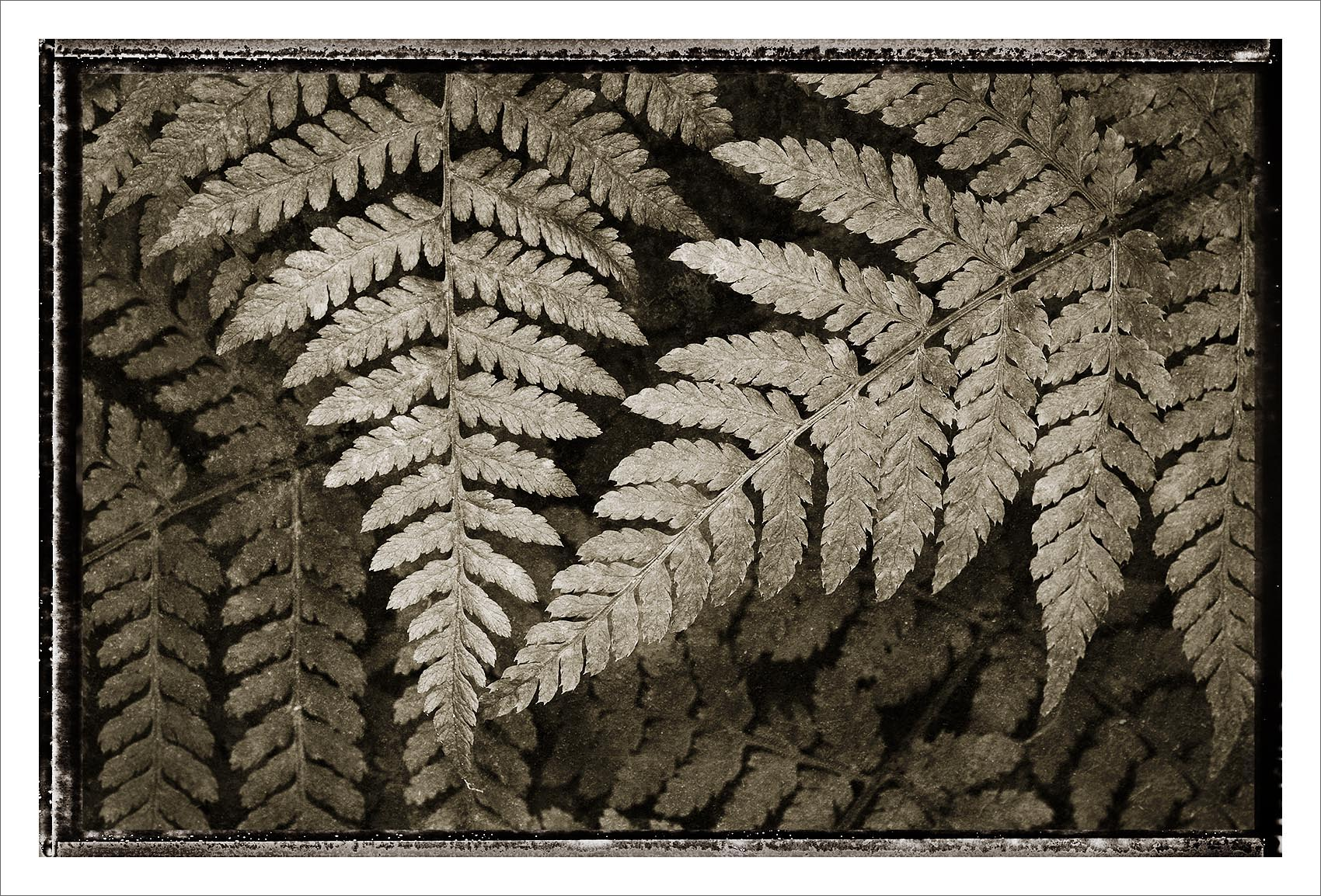 Lady Fern Lady Fern Black and White Nature Study