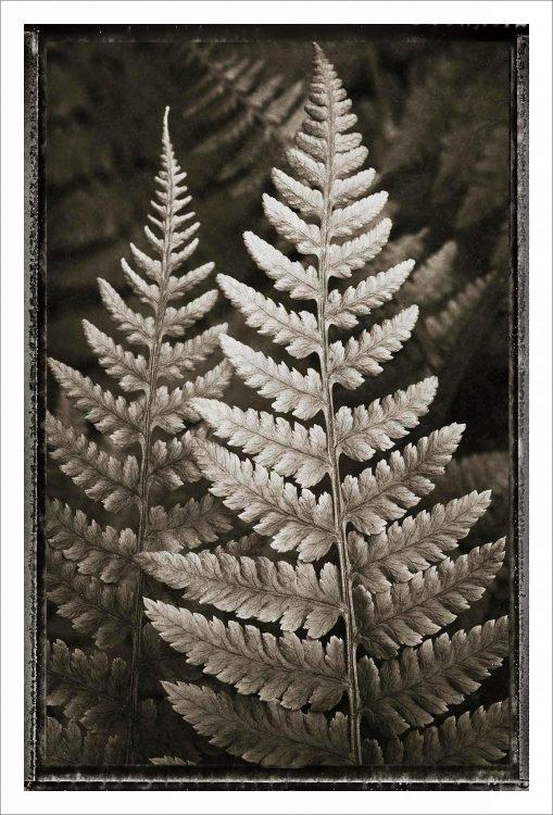 Lady Fern Black and White Nature Study