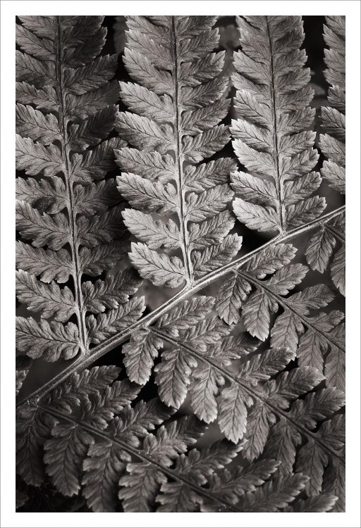 Lady Fern Black and White Nature Study