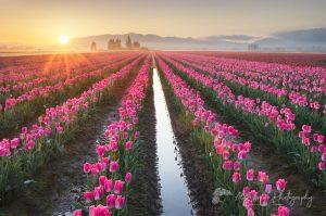 Skagit Valley Tulip Fields Washington