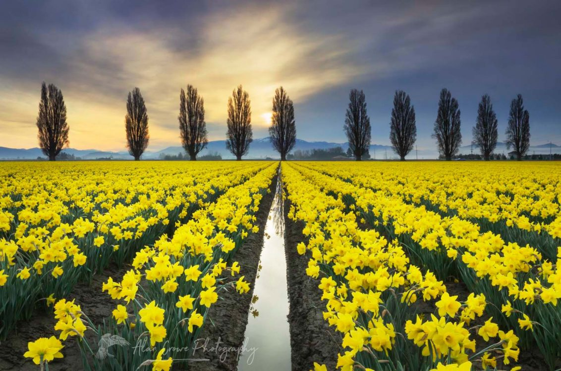 Skagit Valley Daffodil Fields, Washington Photo Highlights 2018