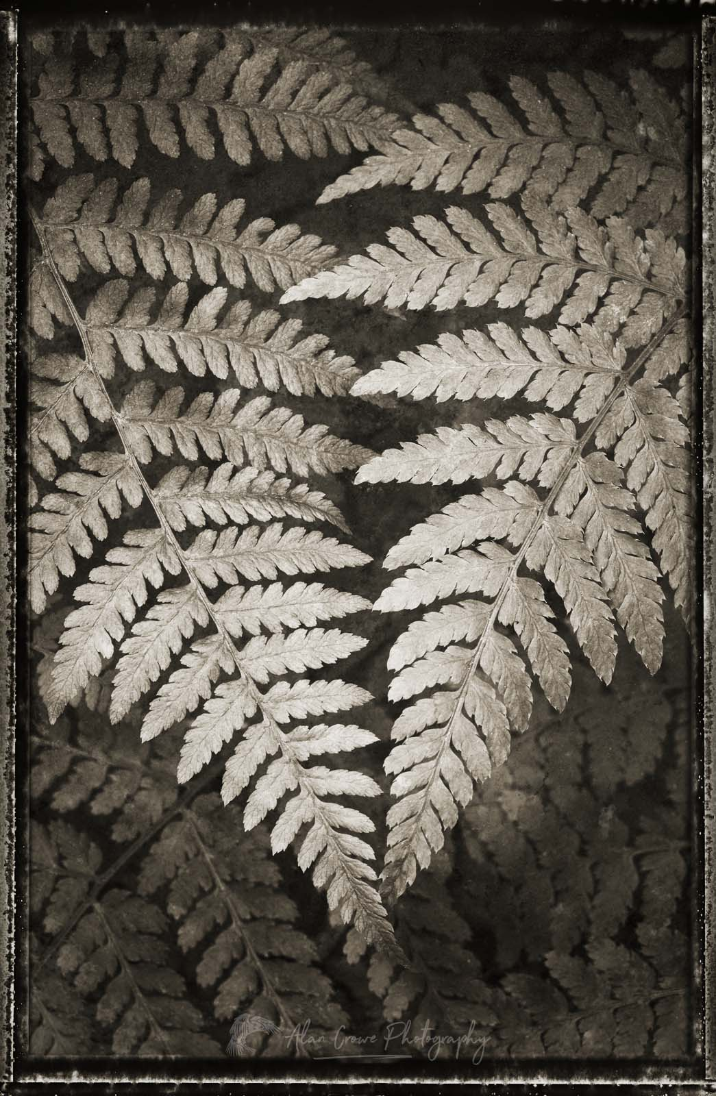 Lady Fern BW Photo Highlights 2018