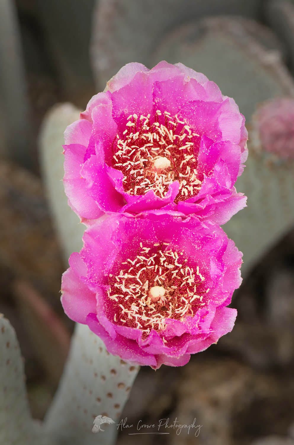 Beavertail Cactus (Opuntia basilaris) flowers