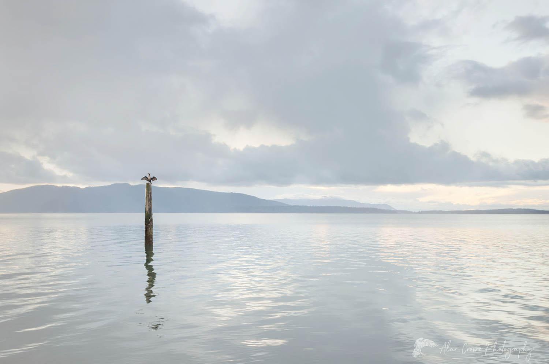 Cormorant, Bellingham Bay Washington