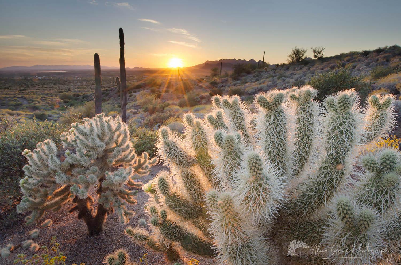 Cholla Cactus Sunset