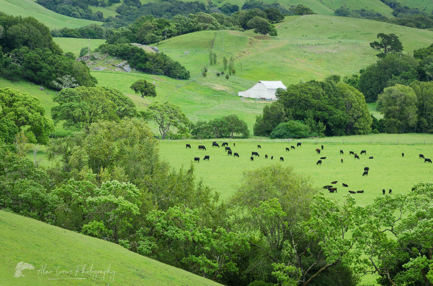 Marin County Cattle ranch California