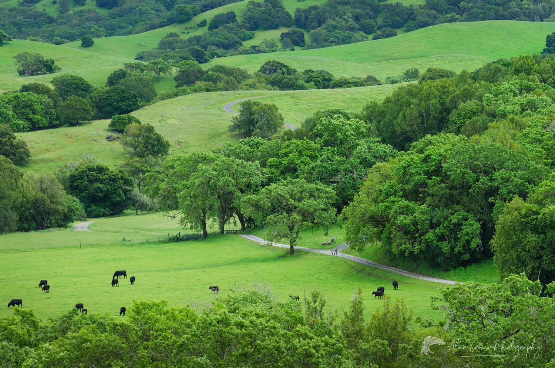 Marin County Cattle ranch California