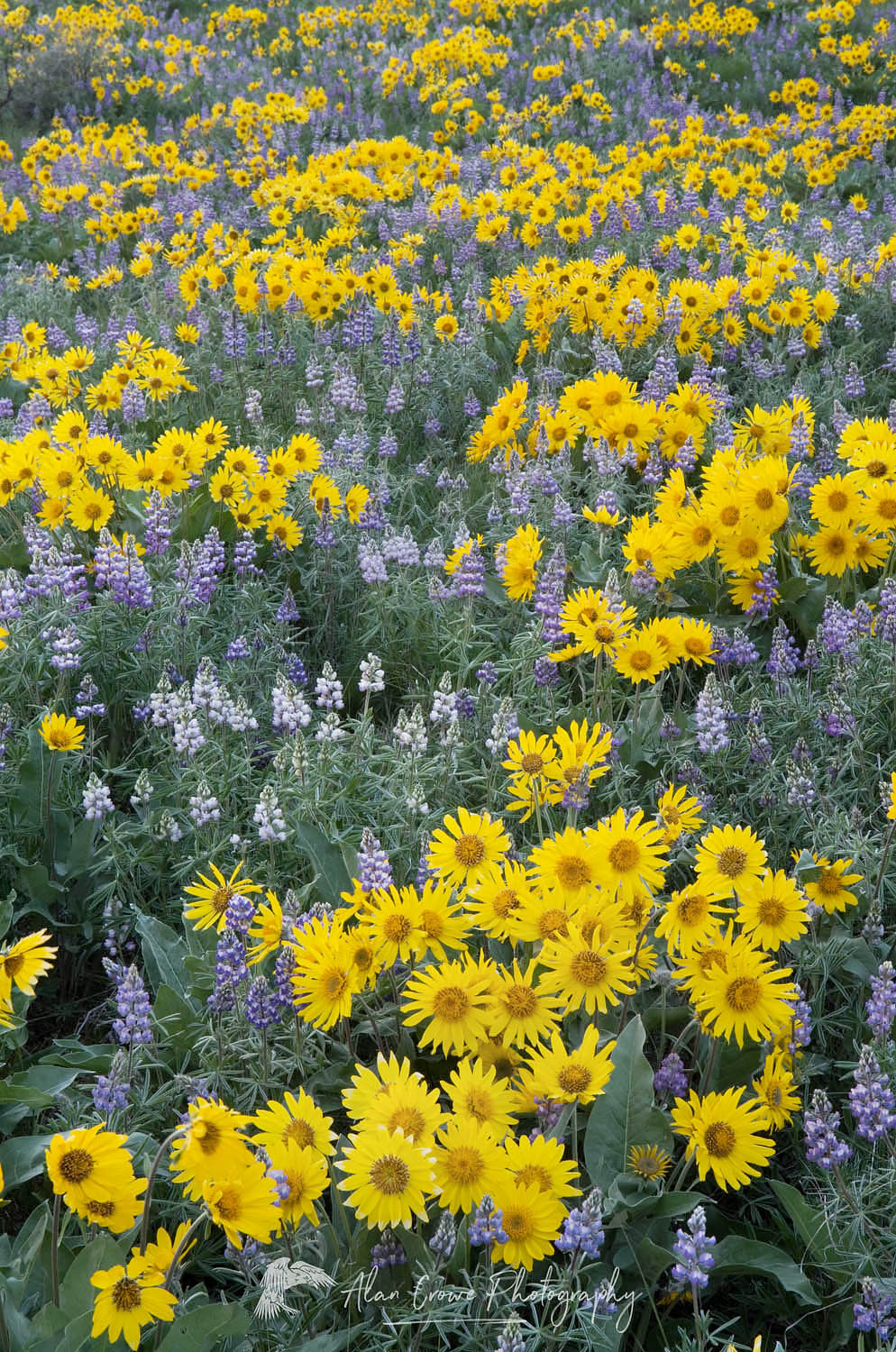 Methow Valley wildflowers, North Cascades Washington