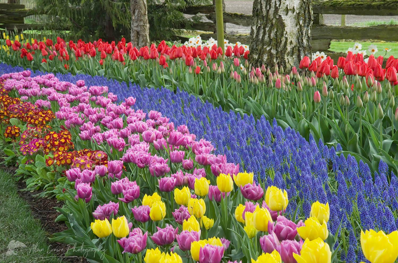 Roozengaarde Gardens, Skagit Valley
