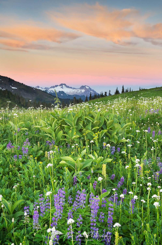 Mount Baker Wilderness Wildflowers, Washington