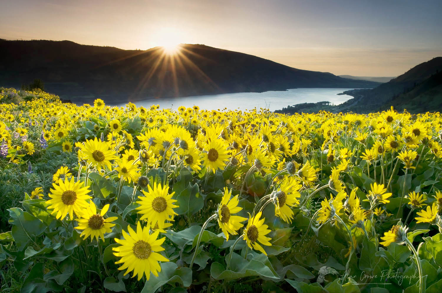 Rowena Crest wildflowers, Columbia River Gorge National Scenic Area, Oregon