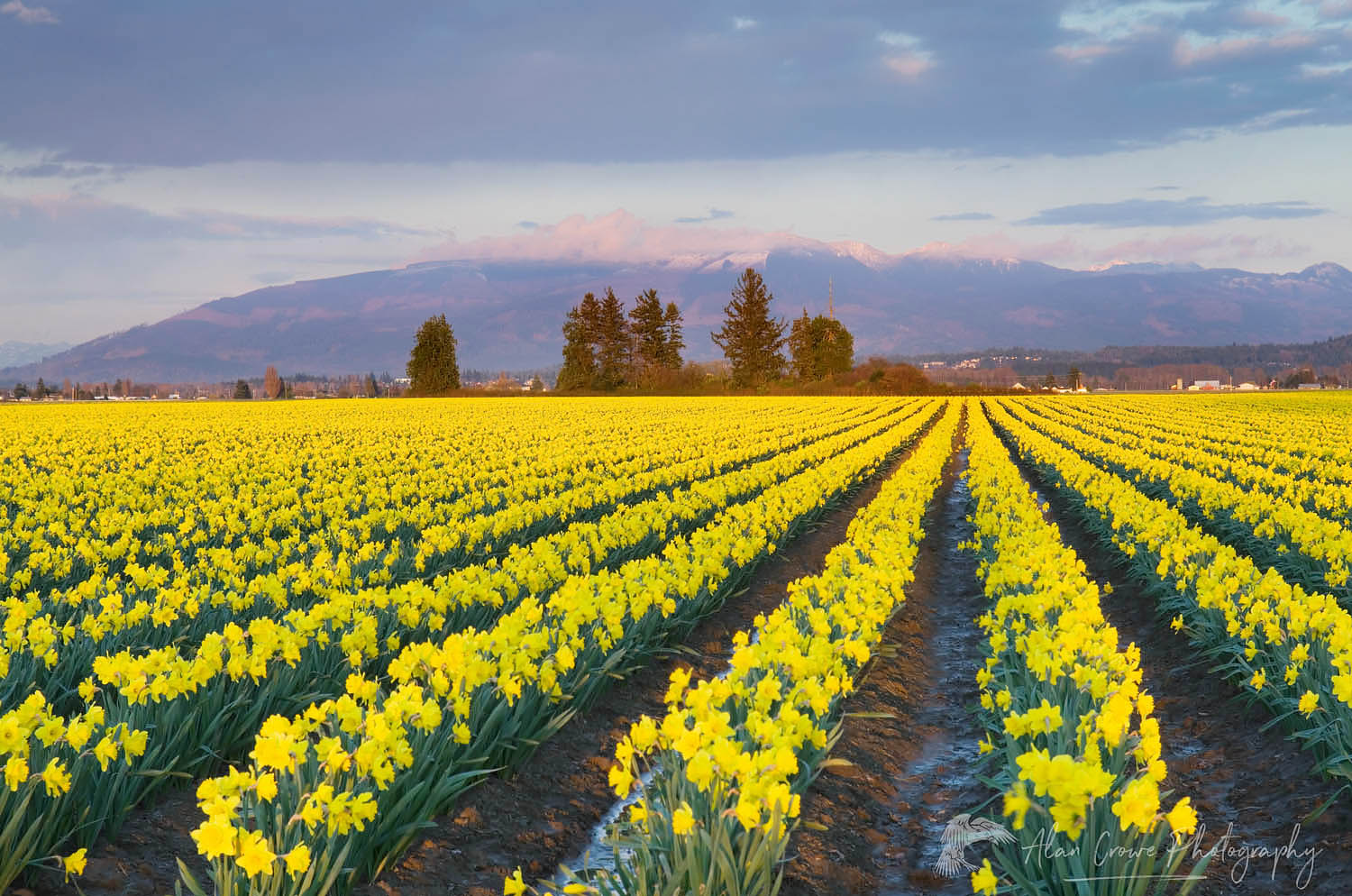 Skagit Valley Daffodil fields, Washington