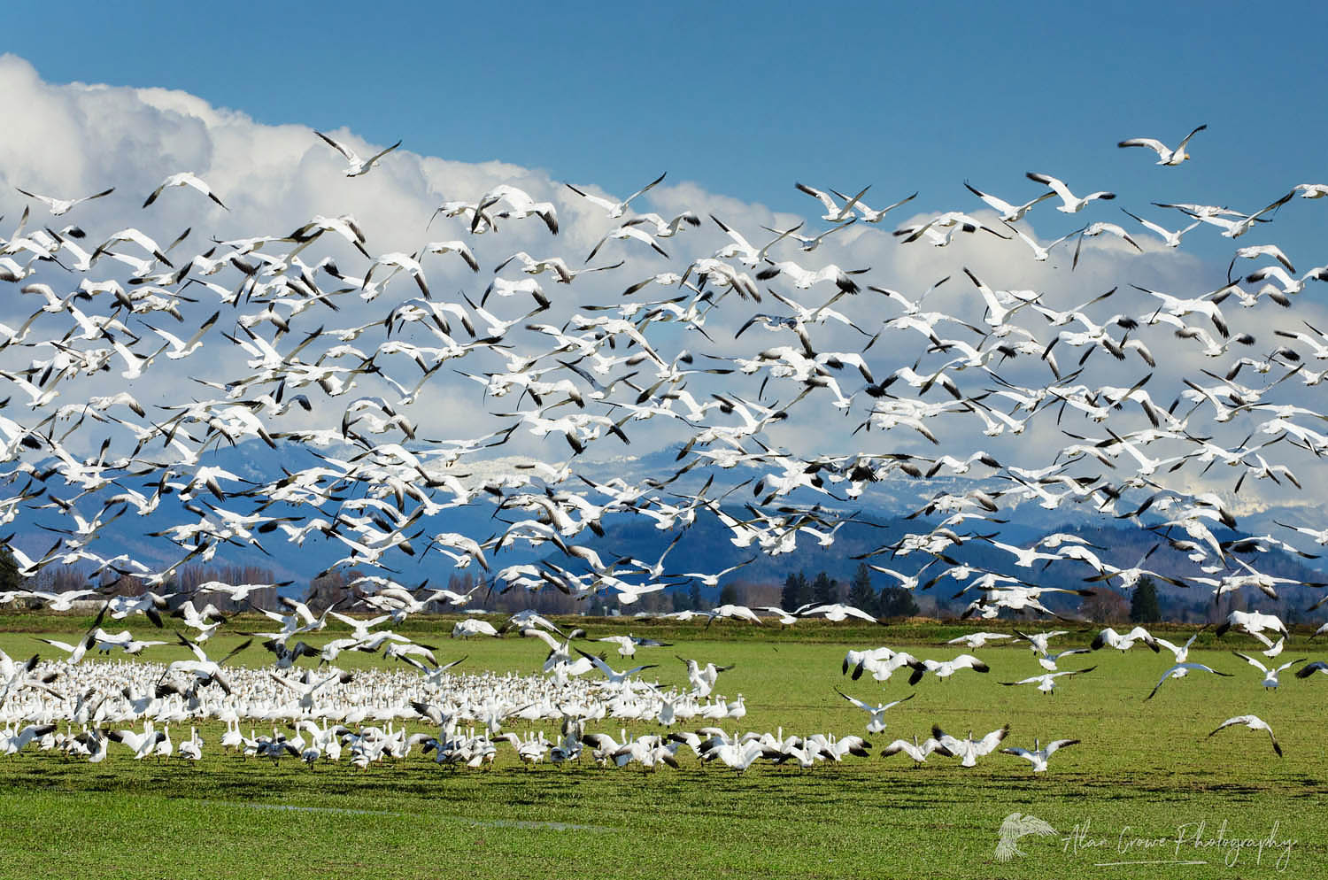 Snow Geese Skagit Valley Washington