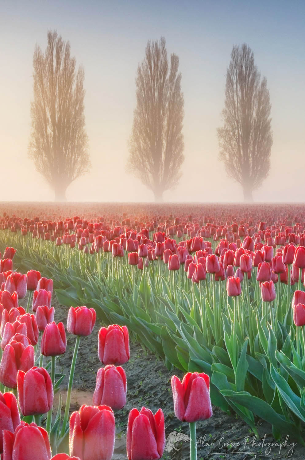 Sunrise over the Skagit Valley Tulip Fields