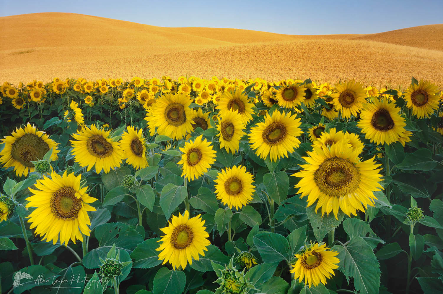Sunflowers Palouse Washington