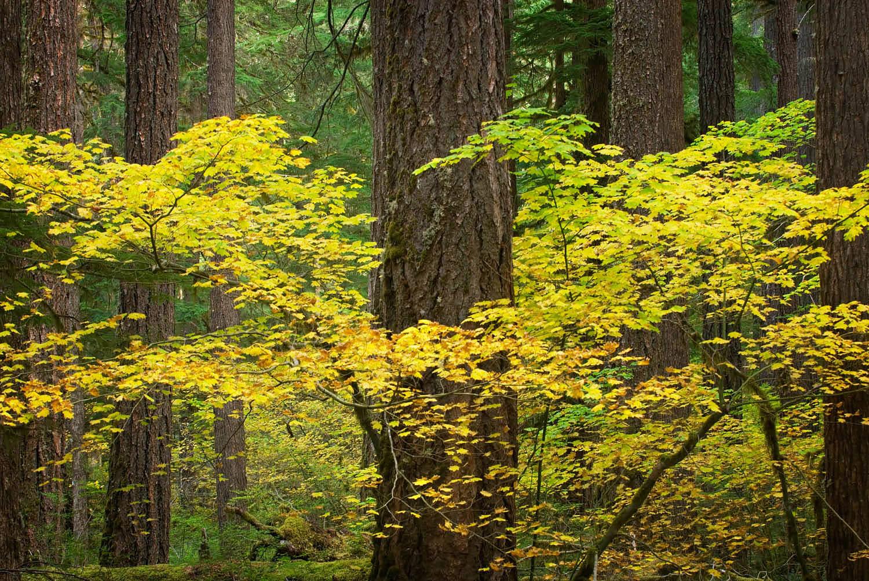 Vine Maples Oregon