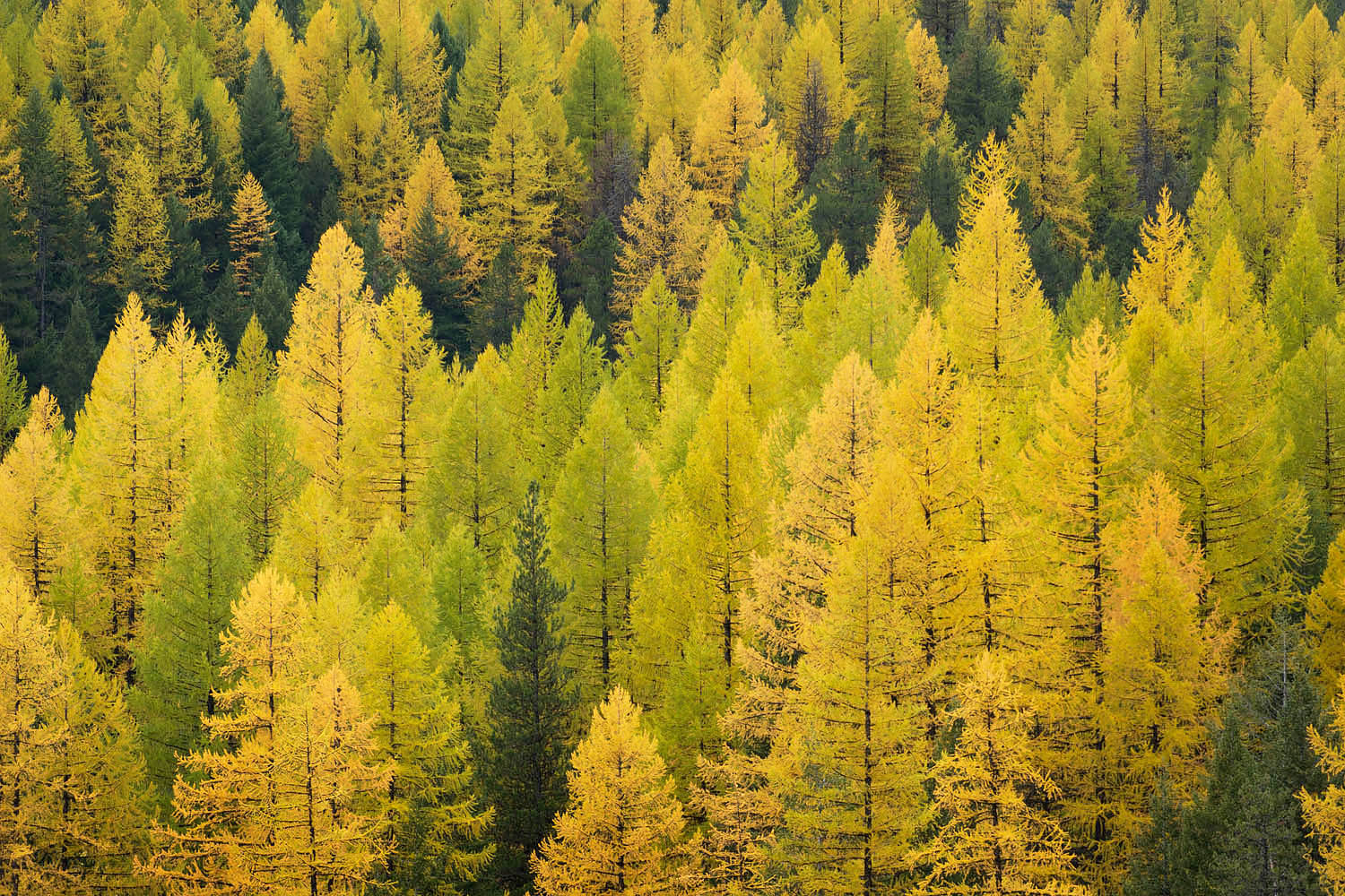 Western Larch forest Montana
