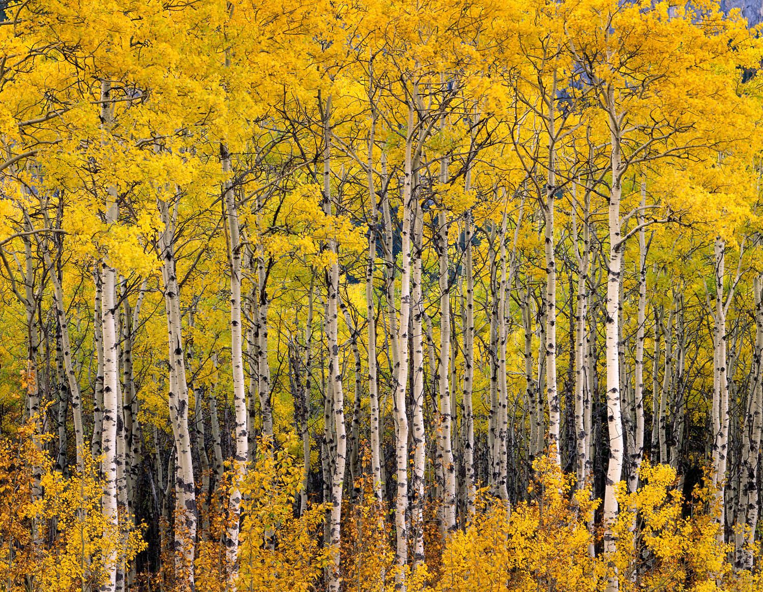 Aspens in Fall Alberta