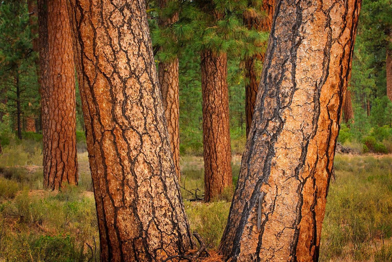 Ponderosa Pines Deschutes National Forest Oregon