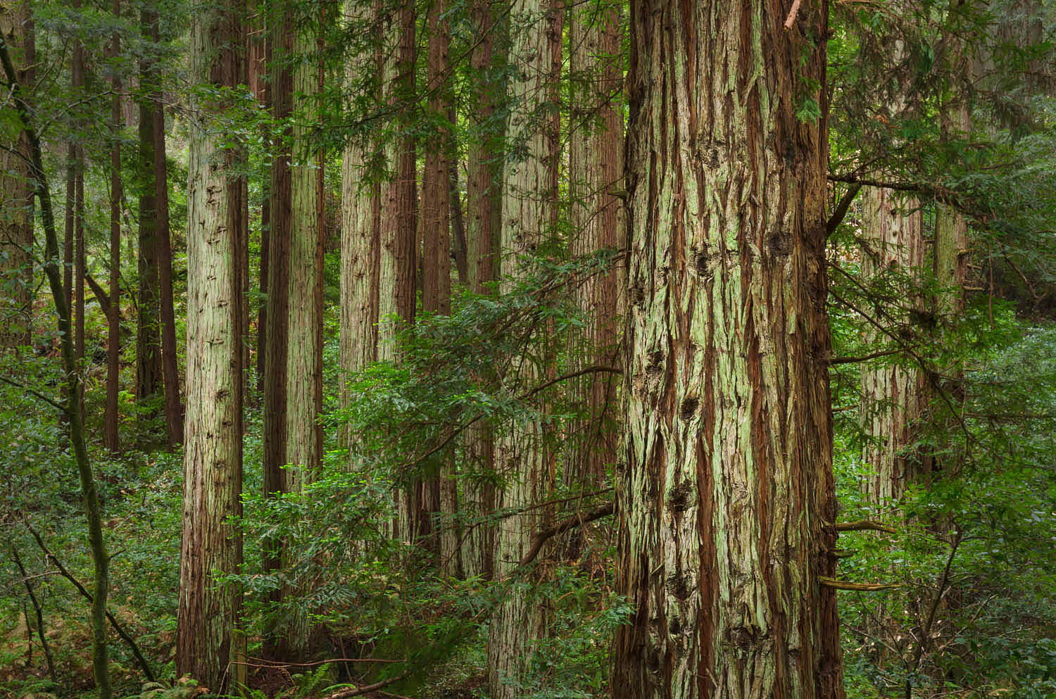 Coast Redwood forest
