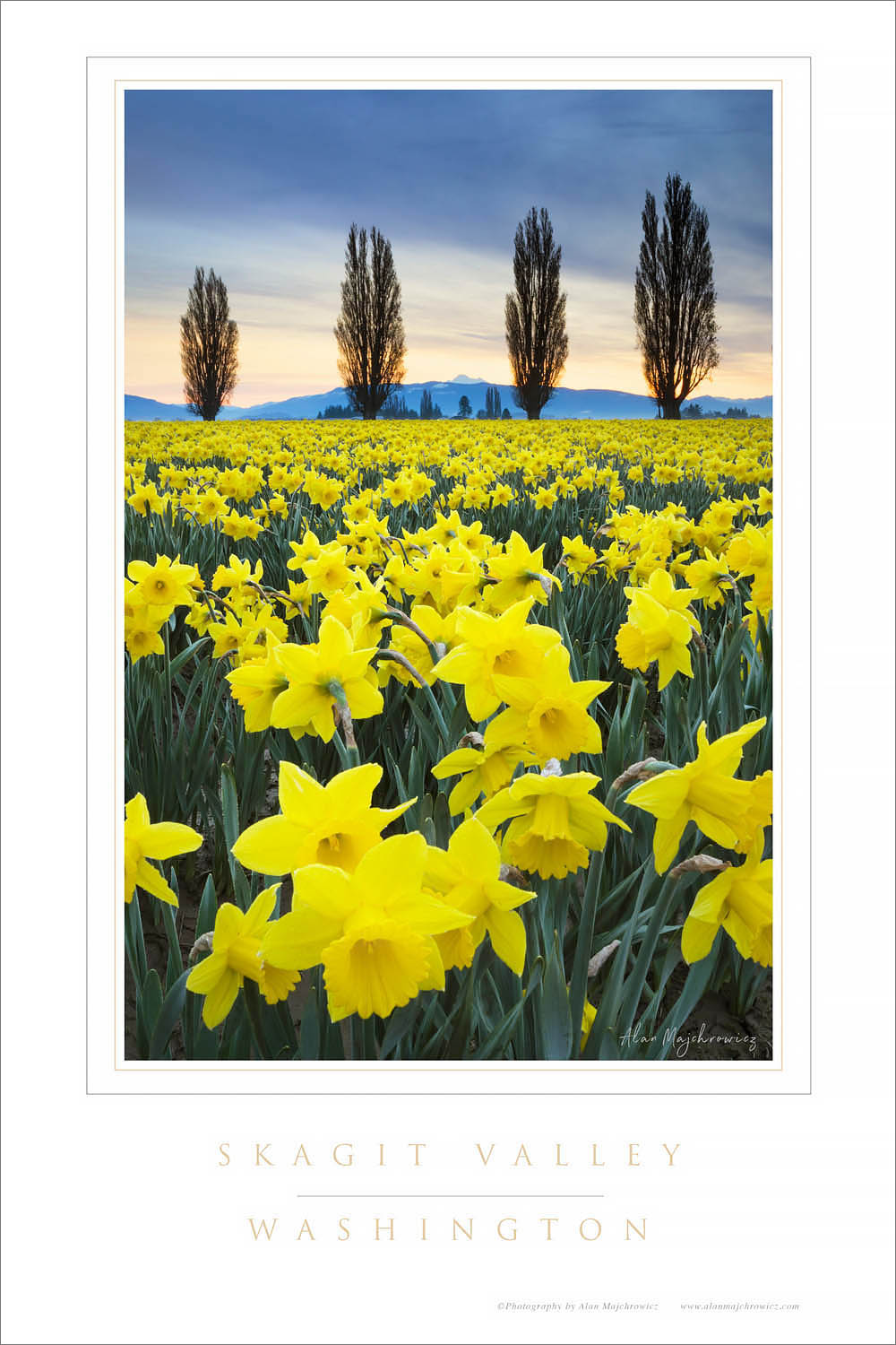 Skagit Valley Daffodils Washington