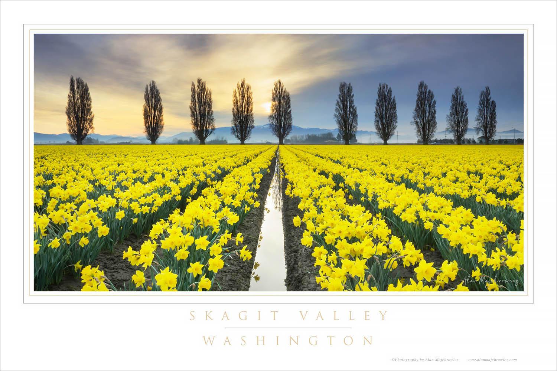 Skagit Valley Daffodils Washington