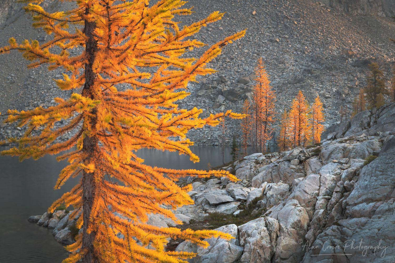 Subalpine Larches North Cascades