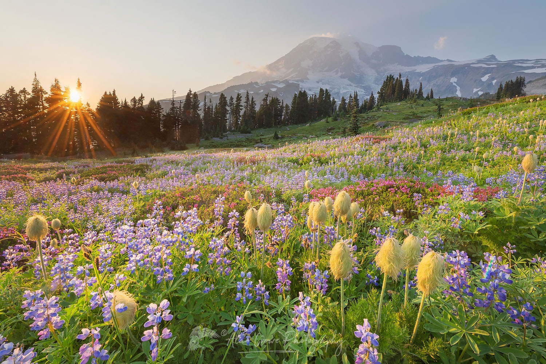 Paradise Wildflower Meadows Mount Rainier